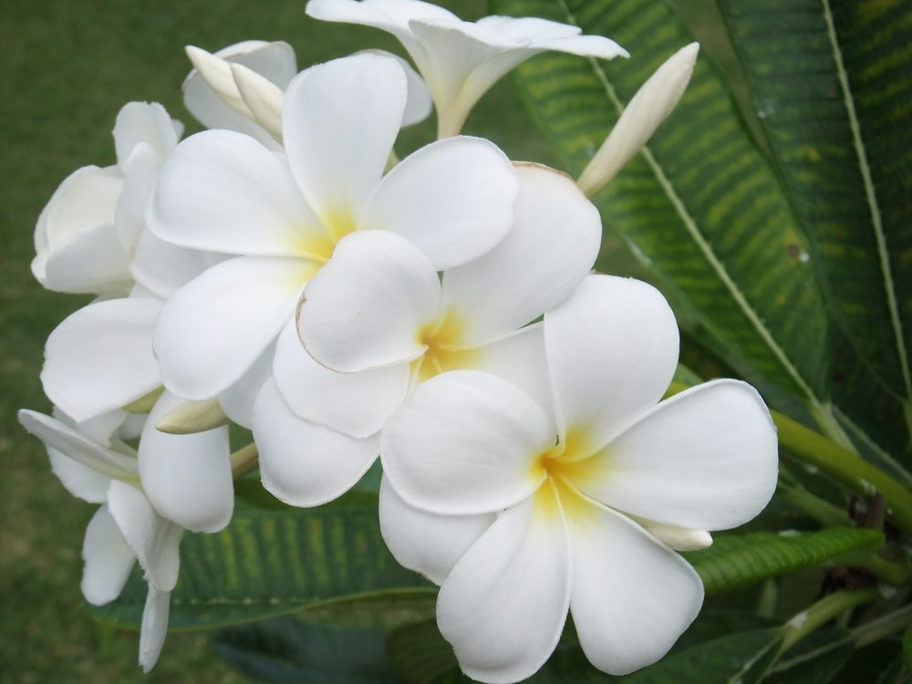 Frangipani in Hawaii. Where else?