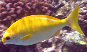 The very hungry and bossy Golden Chub. Source: Rick Long, www.reef.org