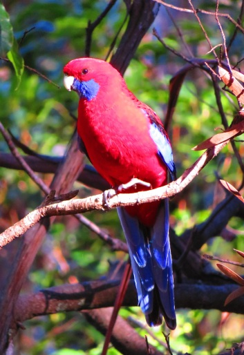 The vivid crimson rosella.