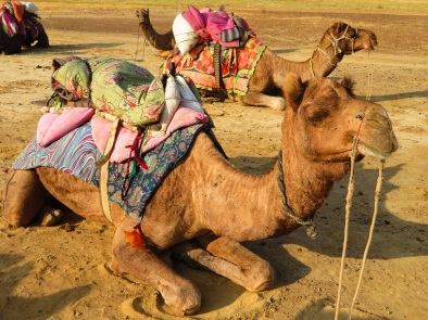 Camel with saddle sits and waits