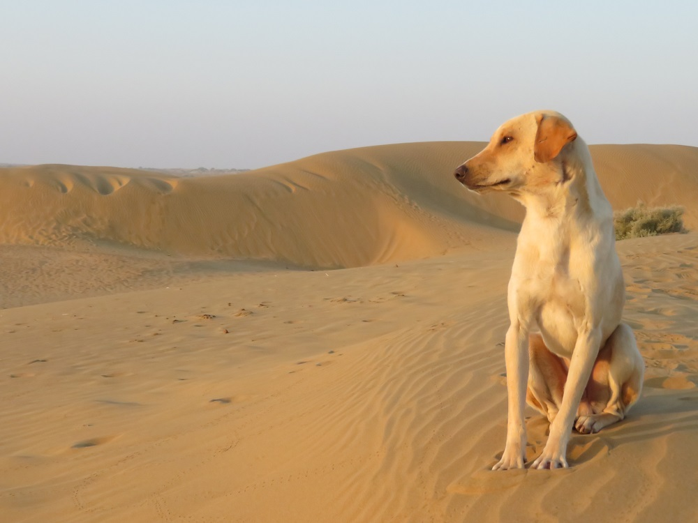 A light coloured dog sitting on a sand dune