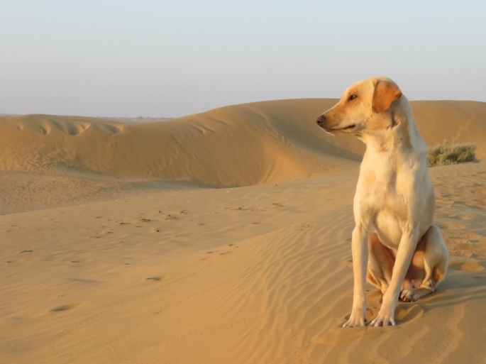 A light coloured dog sitting on a sand dune