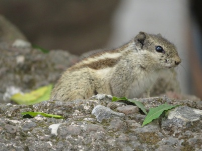 striped squirrel
