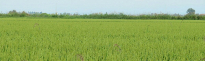 Rice fields at Vercelli