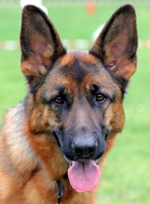 Head and shoulders photo of a German Shepherd with its tongue out