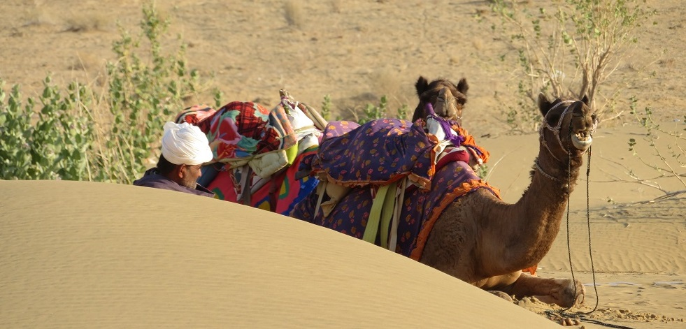 Camels rest in the desert sand - Thar desert