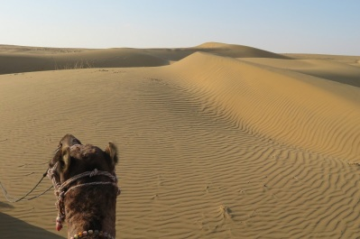 A camel heads for the sand dunes in the Thar Desert