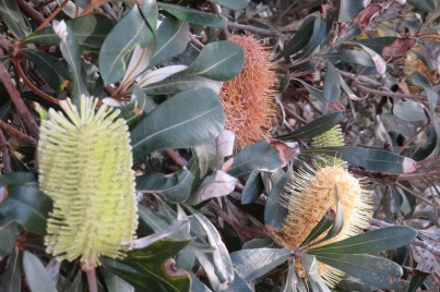 Australian Coastal banksia flowers and bush
