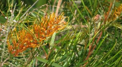 Native Australian flora