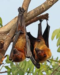 Two Flying foxes hanging upside down from a branch