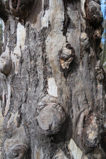 Rough tree trunks of eucalypts