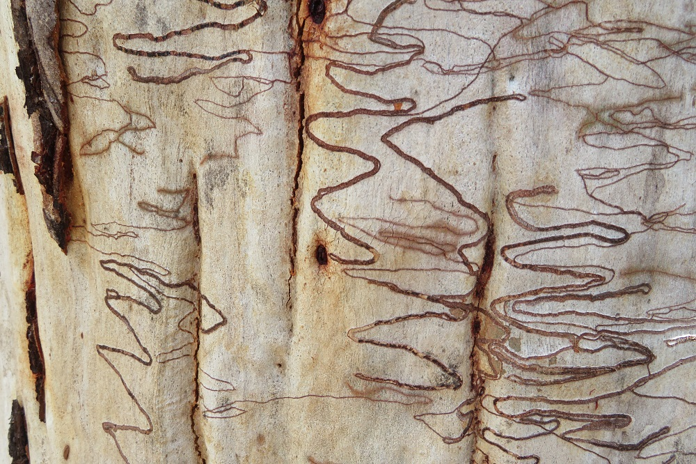 Patterns on the trunk of a eucalypt