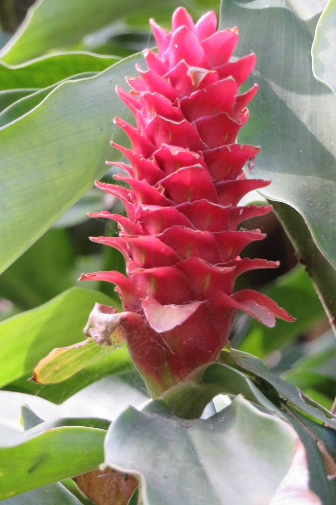 Australian red ginger flower