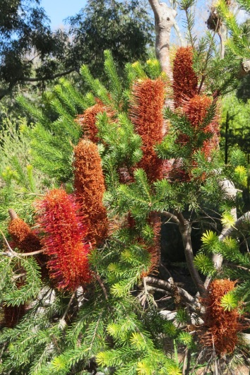 Heath Banksia used in a high energy drink by the Cadigal people