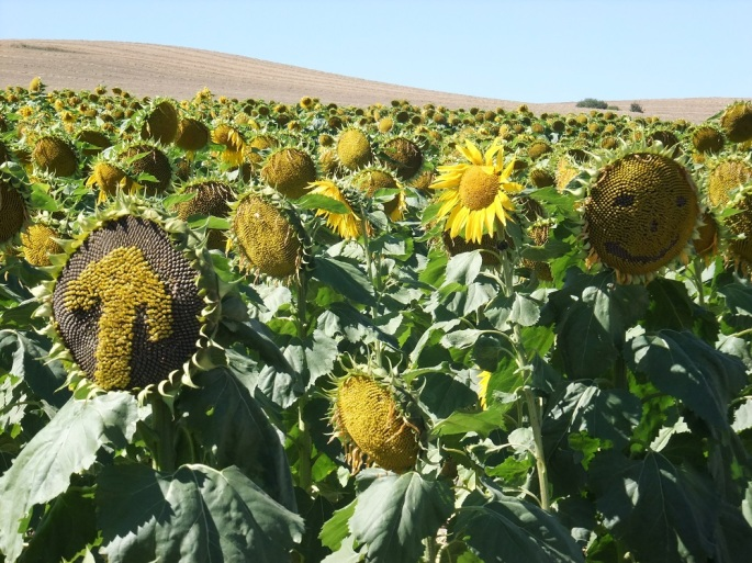 A field of sunflowers with arrows and smiley faces in Spain