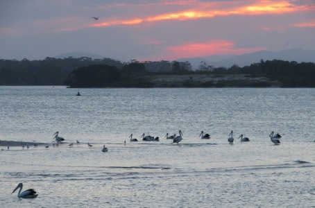 Pelicans at sunrise