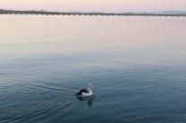 Pelican and bridge at Tuncurry