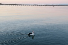 Pelican and bridge at Tuncurry