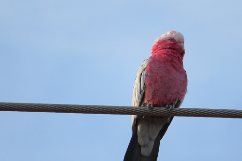 One galah on a wire