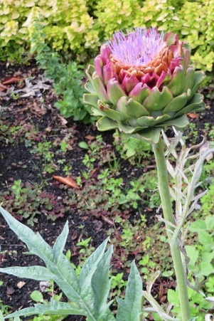Blooming artichokes at Tasmanian Community Food Garden