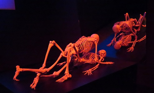 Copulating skeletons at the Cloaca, Mona, Hobart Tasmania