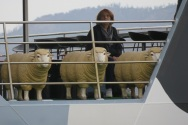 Sheep on the Mona Roma Ferry MONA, Hobart Tasmania