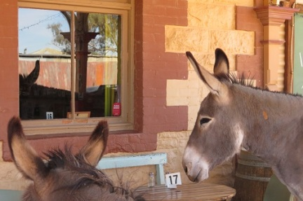 Two donkeys waiting patiently for their dinner from the Silverton Hotel NSW
