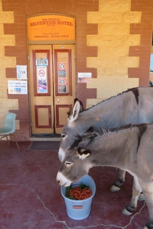 Two donkeys eat their carrots at the Silverton Hotel Outback NSW