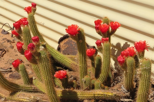 Red cactus flowers