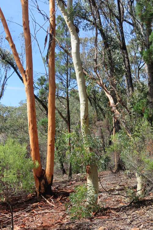 Colourful tree trunks at Fern Tree Gully Reserve