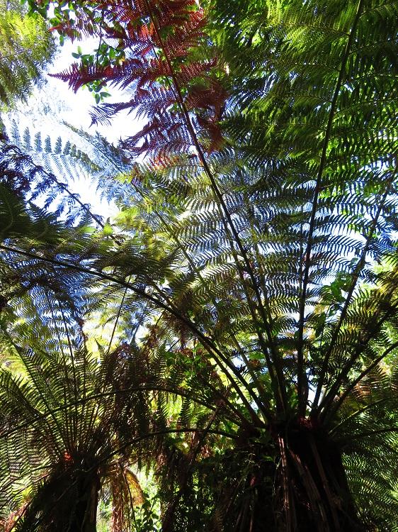 Fern trees in Fern Tree Gully Reserve