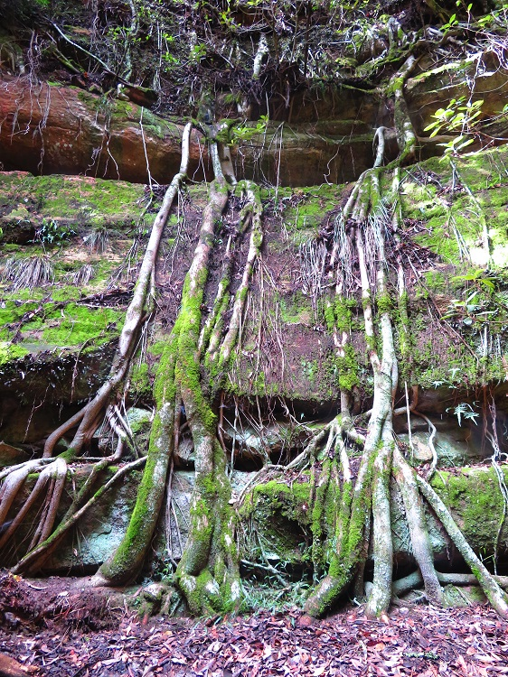 Strangler figs in Fern Tree Gully Reserve