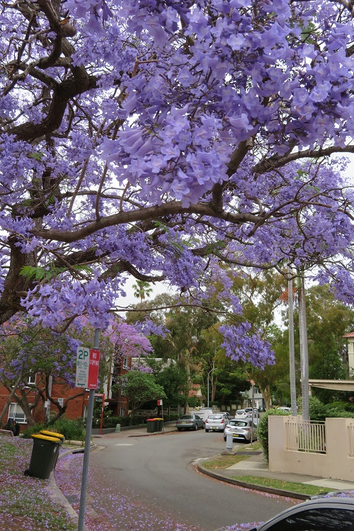 Stage 5 Bondi to Manly - Jacaranda blooms