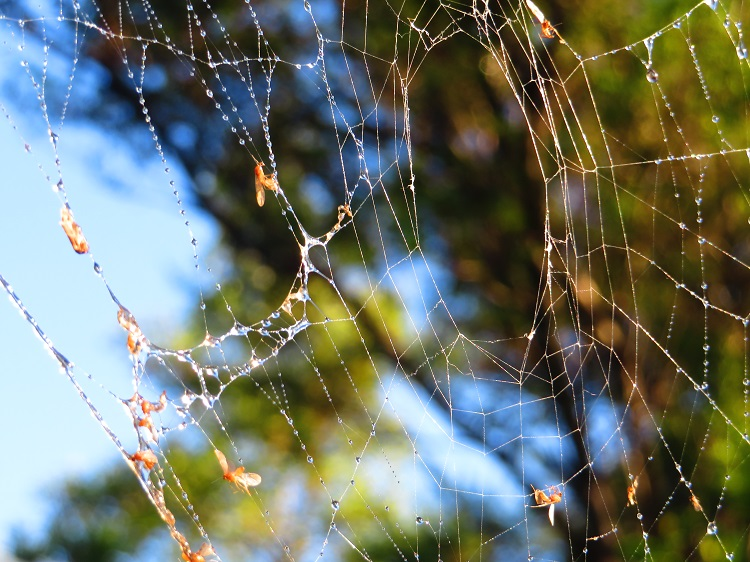 Spider web on Stage 6 of the Bondi to Manly Path