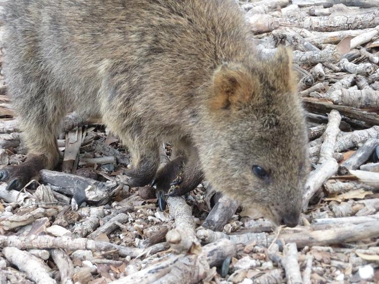 Quokkas on Rottnest Island