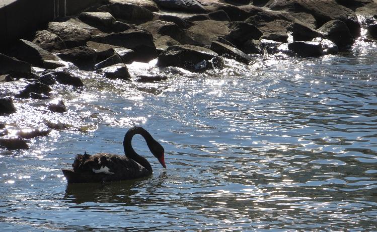 A black swan at Elizabeth Quay