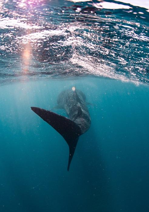 Whale shark on Ningaloo Reef