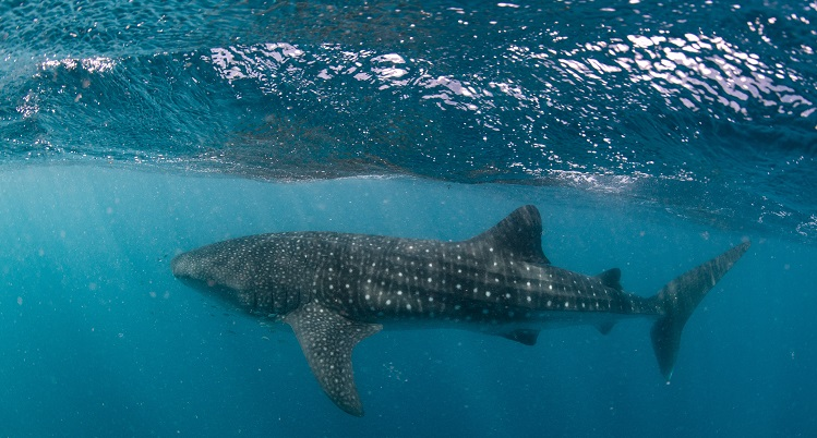 Swimming with whale sharks on Ningaloo Reef