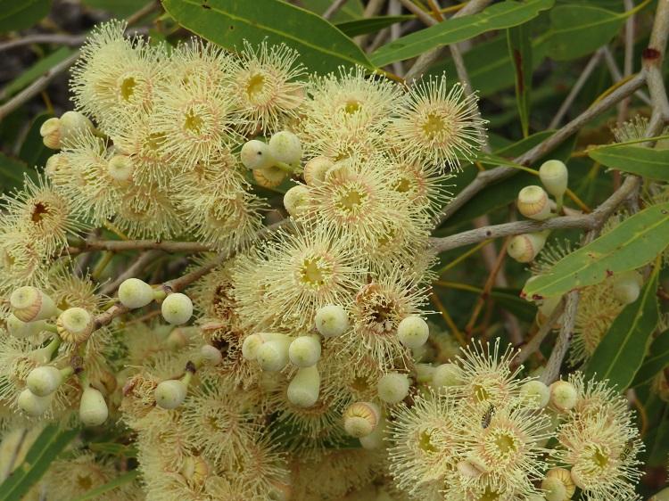 Eucalypt Blossoms